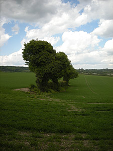 tree in Kent in summer