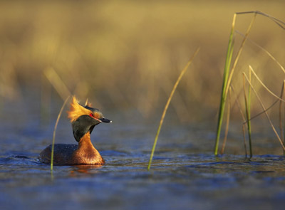 The mysterious Slavonian Grebe