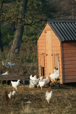 A free range chicken shed